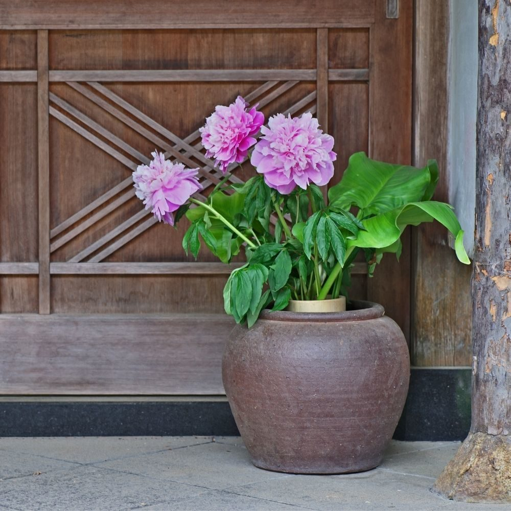 A pünkösdi rózsa (bazsarózsa)